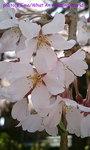 sakura2006_01.jpg