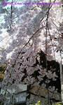sakura2006_02.jpg